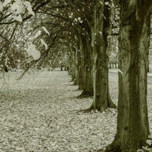 Barlaston trees by Tom Graham